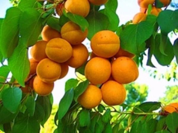 В Армении стартовал процесс закупки урожая абрикосов
