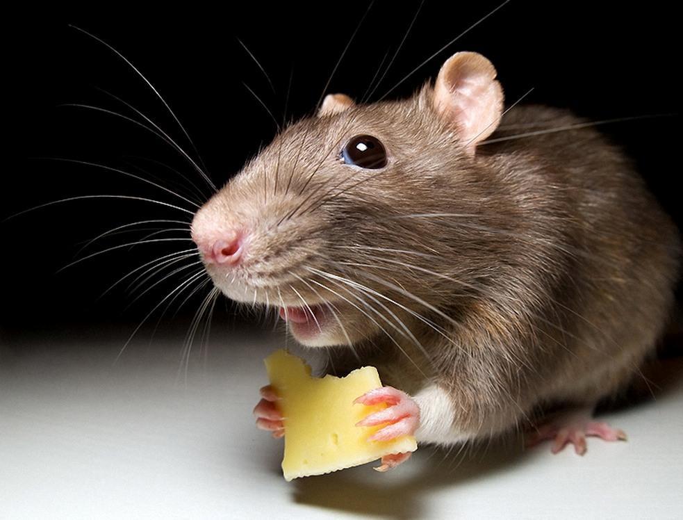 Днем рождения, картинки крыса смешные